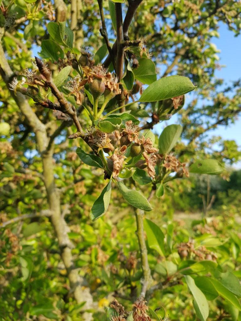 Pear-tree_Roding-Valley-Park_SdS-1-768x1024